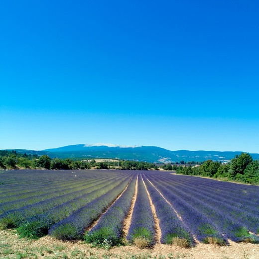 Stock Photo: 4285-11180 rows of blossoming lavender and mont ventoux mountain provence france