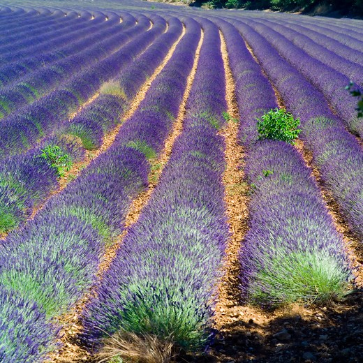 Stock Photo: 4285-11182 rows of blossoming lavender provence france