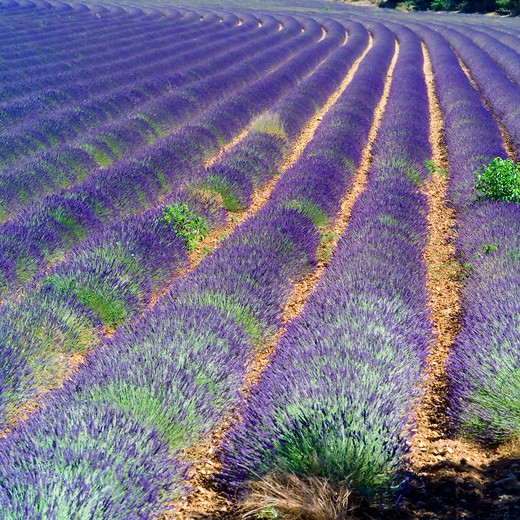 Stock Photo: 4285-11183 rows of blossoming lavender provence france