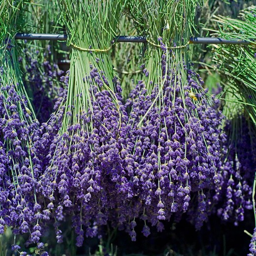 Stock Photo: 4285-11221 drying bunches of lavender provence france