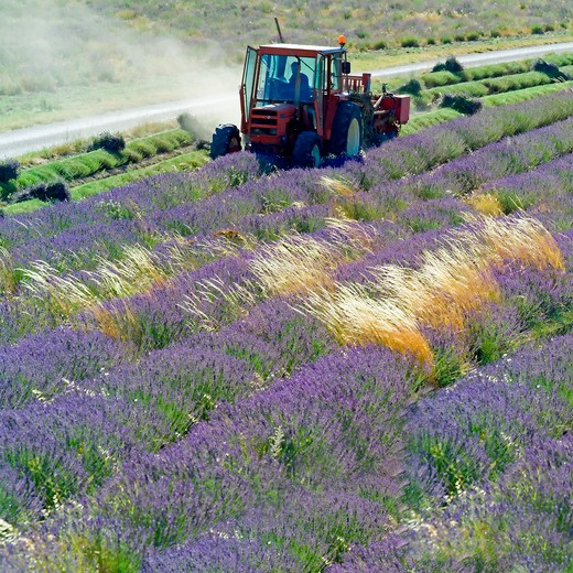 Stock Photo: 4285-11222 tractor harvesting a lavender field provence france