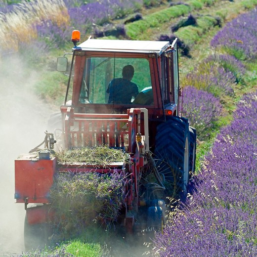 Stock Photo: 4285-11225 tractor harvesting a lavender field provence france