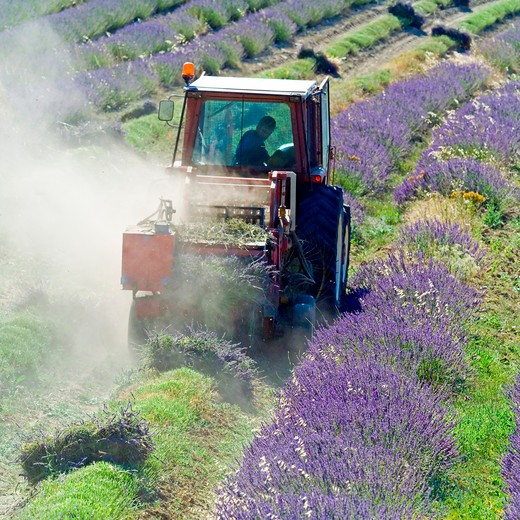Stock Photo: 4285-11226 tractor harvesting a lavender field provence france