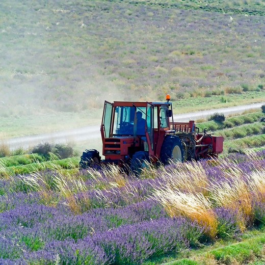 Stock Photo: 4285-11228 tractor harvesting a lavender field provence france