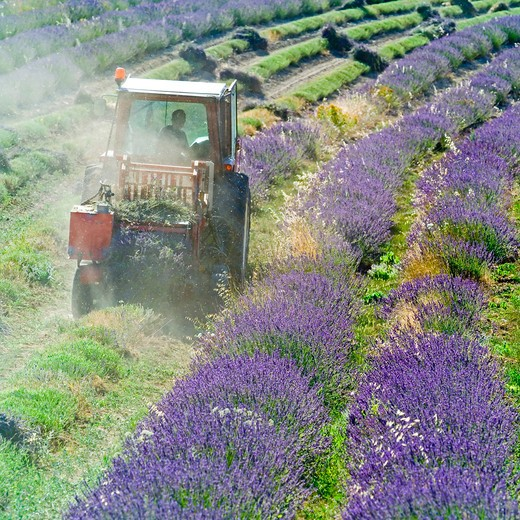 tractor harvesting a lavender field provence france : Stock Photo