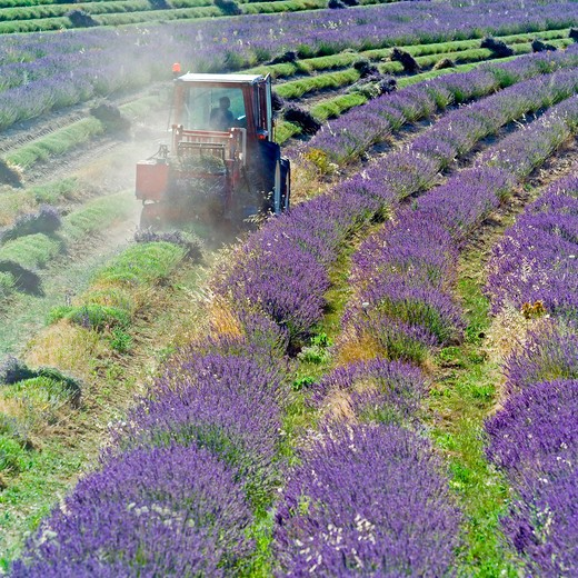 Stock Photo: 4285-11231 tractor harvesting a lavender field provence france
