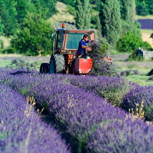Stock Photo: 4285-11232 man and tractor harvesting a lavender field provence france