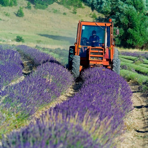 Stock Photo: 4285-11233 tractor harvesting a lavender field provence france