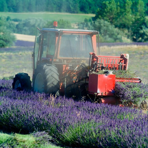 Stock Photo: 4285-11234 tractor harvesting a lavender field provence france