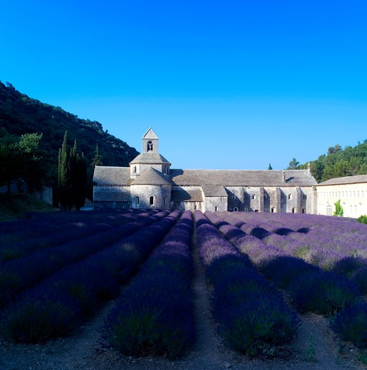 Stock Photo: 4285-11255 rows of blossoming lavender and senanque abbey 12th century provence france