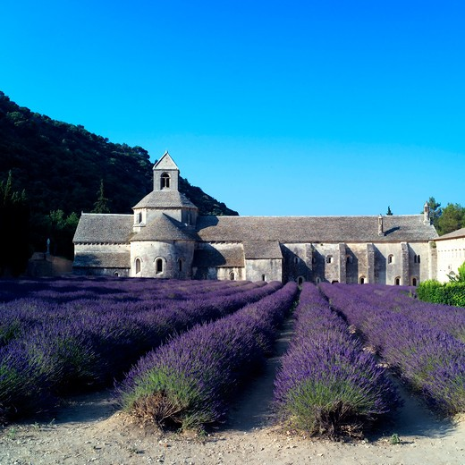 Stock Photo: 4285-11257 rows of blossoming lavender and senanque abbey 12th century provence france
