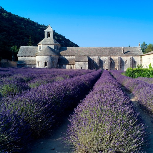 Stock Photo: 4285-11258 rows of blossoming lavender and senanque abbey 12th century provence france