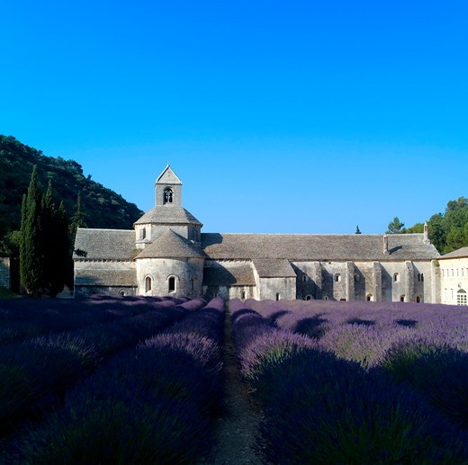 Stock Photo: 4285-11260 rows of blossoming lavender and senanque abbey 12th century provence france