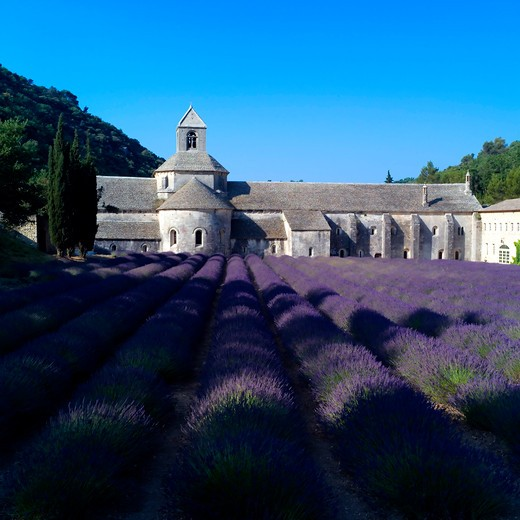 rows of blossoming lavender and senanque abbey 12th century provence france : Stock Photo