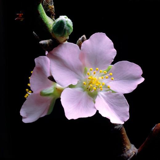 almond tree flowers : Stock Photo