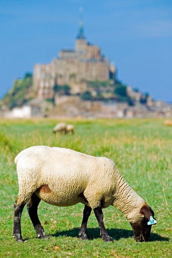 Stock Photo: 4285-12378 sheep grazing on salty grass marsh and mont-st-michel normandy france