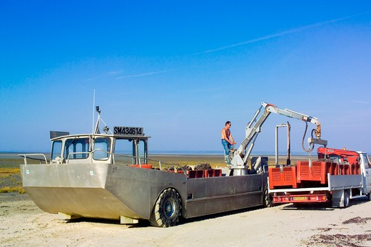 amphibian truck unloading mussels gathering brittany france : Stock Photo