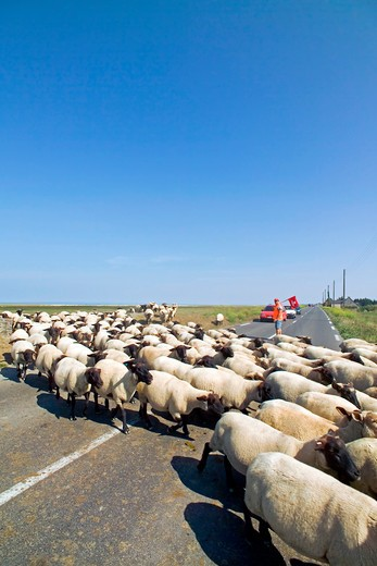 sheep crossing road and shepherd stopping car traffic brittany france : Stock Photo