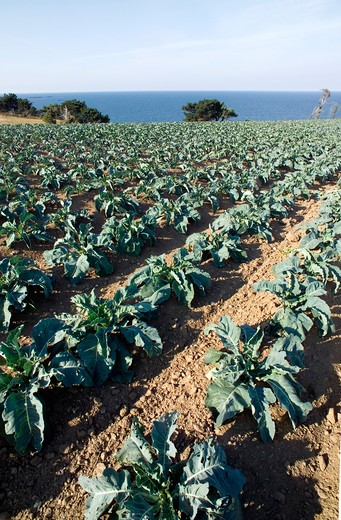 Stock Photo: 4285-12556 cabbage cultivation field brittany france