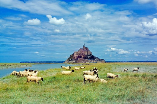 sheep grazing in front of mont-st-michel normandy france : Stock Photo