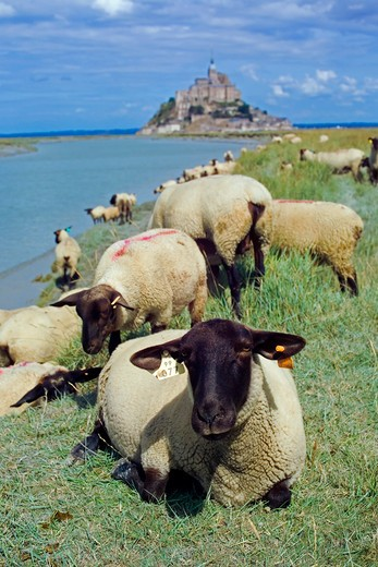 Stock Photo: 4285-12927 sheep grazing in front of mont-st-michel and couesnon river normandy france