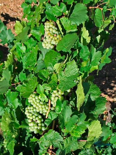 Stock Photo: 4285-13076 riesling grapes vineyard alsace france