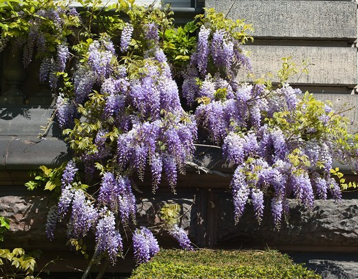 BLOOMING WISTERIA STRASBOURG ALSACE FRANCE : Stock Photo