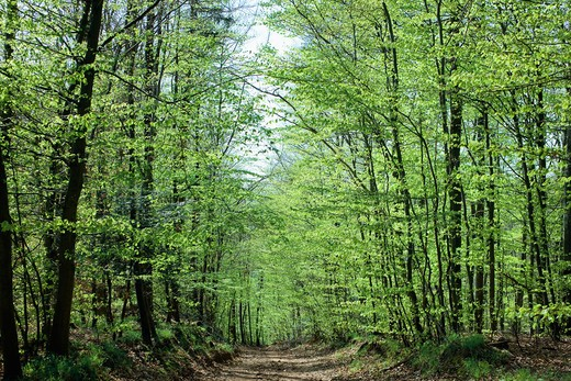 Stock Photo: 4285-13850 FOOTPATH IN BEECH AND BIRCH GROVE VOSGES MOUNTAINS FOREST ALSACE FRANCE