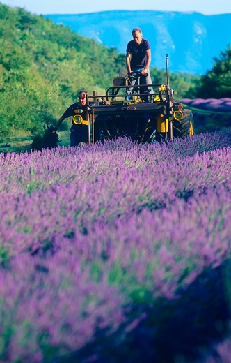 Stock Photo: 4285-15181 FARMERS GATHERING LAVENDER PROVENCE FRANCE