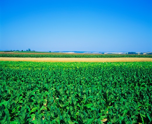 Stock Photo: 4285-16210 TOBACCO WHEAT & MAIZE FIELDS ALSACE FRANCE
