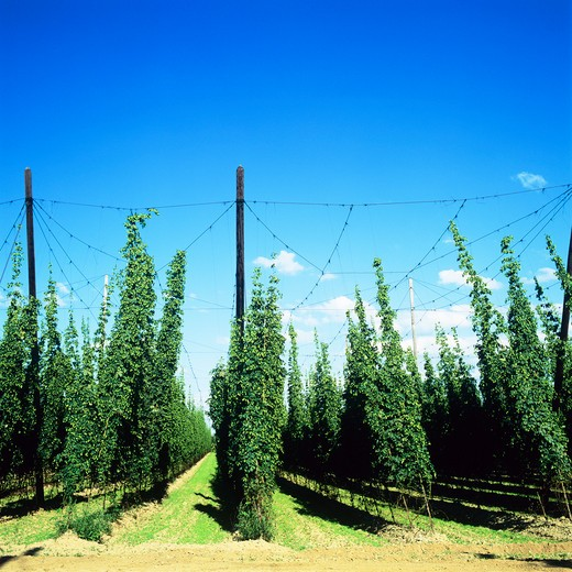 Stock Photo: 4285-16253 8 STRISSELSPALT HOP BINE ALSACE FRANCE