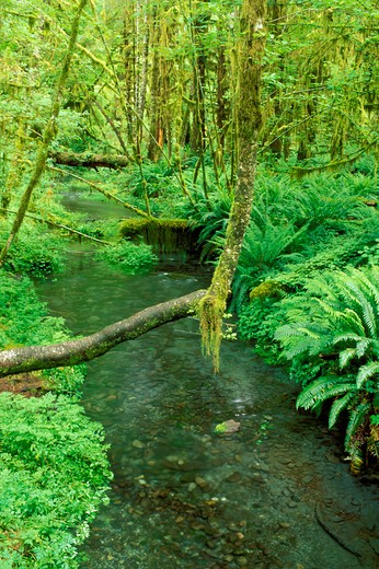 Taft Creek and lush groundcover in the Hoh Rain Forest, Olympic National Park, Washington : Stock Photo