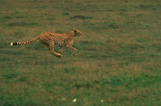 Stock Photo: 4285-16283 Speed  A cheetah is the graceful and elegant speedster of the animal kingdom.