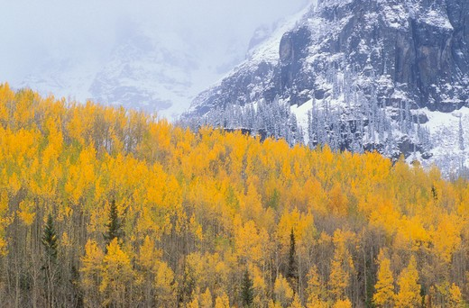 Stock Photo: 4285-1795 Golden fall aspens against snow covered peaks in the San Juan Mountains, Uncompahgre National Forest, Colorado