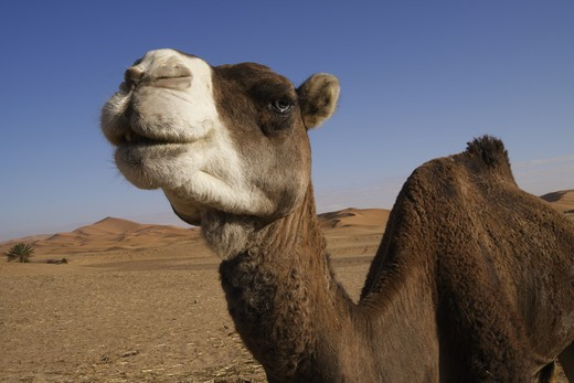 Stock Photo: 4285-17964 Africa, North Africa, Morocco, Sahara Desert, Merzouga, Erg Chebbi, Camel