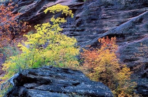 Soft light on fall color and sandstone cliff in Hidden Canyon, Zion National Park, Utah : Stock Photo