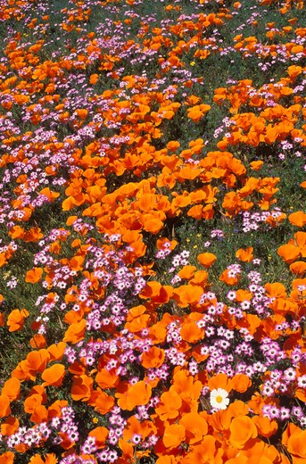 California Poppies (Eschscholtzia californica) and Blue Gilia (Gilia rigidula), Antelope Valley, California : Stock Photo