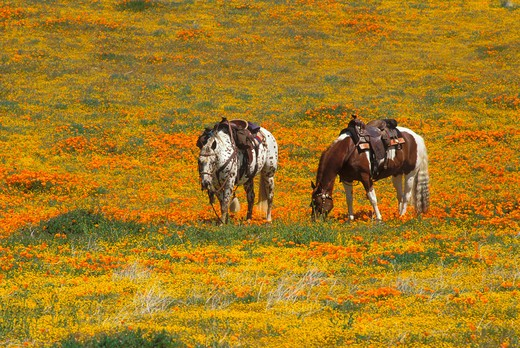 Stock Photo: 4285-2296 Horses in a field of California Poppies and Goldfields, Antelope Valley, California