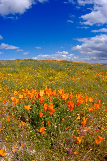 Stock Photo: 4285-2369 California Poppy (Eschscholzia californica) and Goldfields (Lasthenia californica), Antelope Valley, California