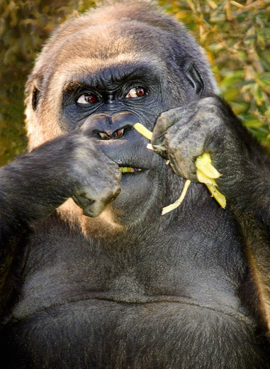Stock Photo: 4285-3135 Gorilla, male?, close-up eating green roots with suspicious/greedy/angry look on face.