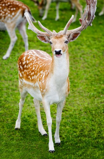 Fallow deer, (Bambi type deer with white spots), with full antlers covered in velvet eating grass, full body shot in grassy bckgrd with other deer. : Stock Photo