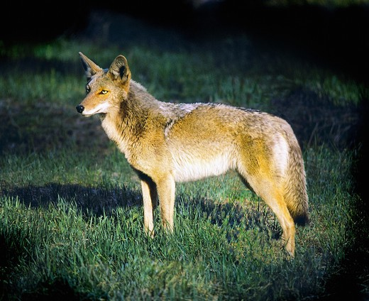 Coyote adult, full figure, side portrait, with warm sidelight, on green grass, dark background. (taken in Yosemite Valley, Cal.) : Stock Photo