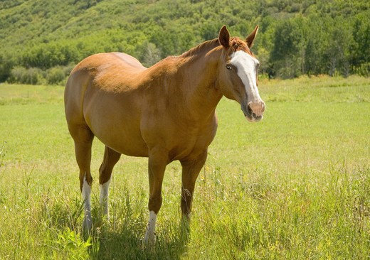 Stock Photo: 4285-3208 Horse, adult, yellow/reddish, with white spot on forehead, very healthy, full body close shot, looking at viewer, standing in field of green grass