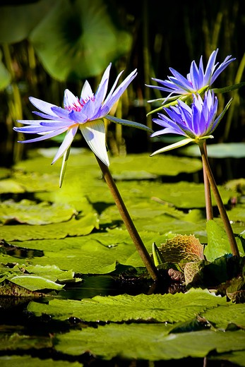 Purple water lilies with long stems coming out of water, green leaves. : Stock Photo