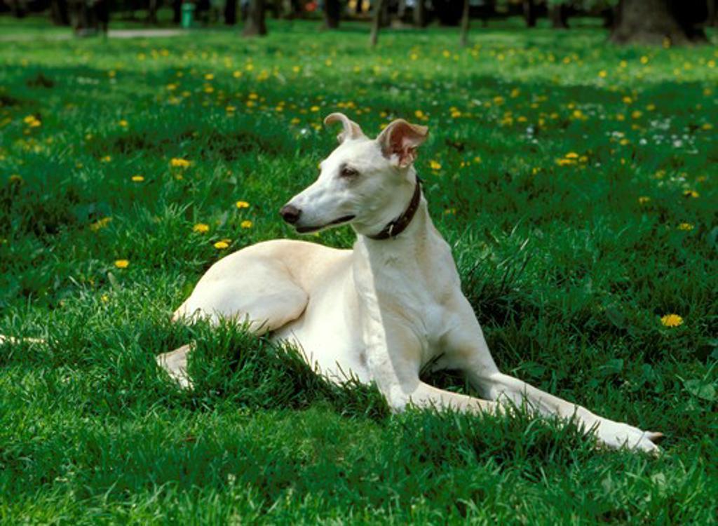 Stock Photo: 4285-4116 Dog Polish Hound lying on grass