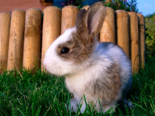 Stock Photo: 4285-4857 rabbit