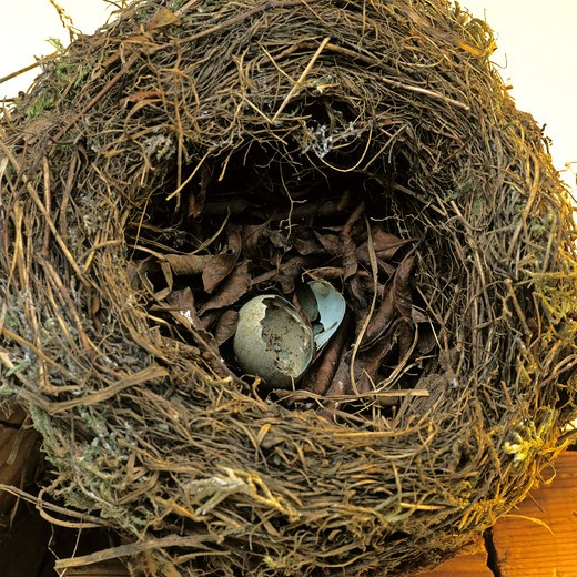 Stock Photo: 4285-5961 BROKEN EGG SHELL IN AN EMPTY BIRD'S NEST.