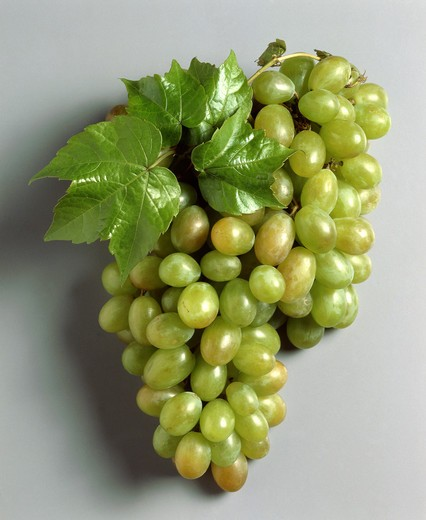 BUNCH OF WHITE GRAPES 'CHASSELAT'. : Stock Photo