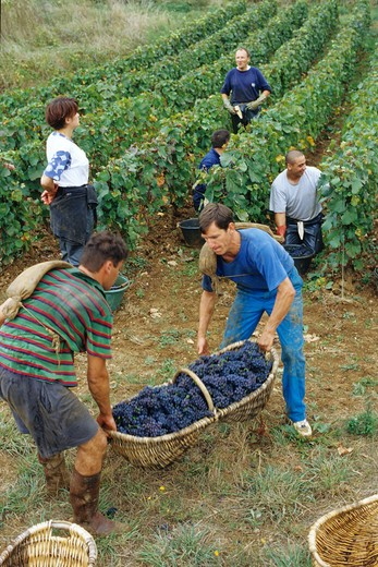 Stock Photo: 4285-6683 FRANCE BOURGOGNE PERNAND-VERGELES GRAPE HARVEST PICKERS AND BENATON BASKET
