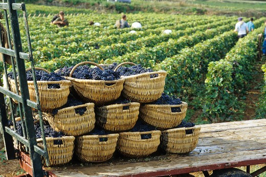 Stock Photo: 4285-6706 FRANCE BOURGOGNE PERNAND-VERGELES GRAPE HARVEST BENATON BASKETS STACKED ON A TRAILER AND VINEYARD